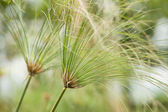 Paper reed plant — Stock Photo