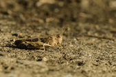 Brown cricket camouflage — Stock Photo
