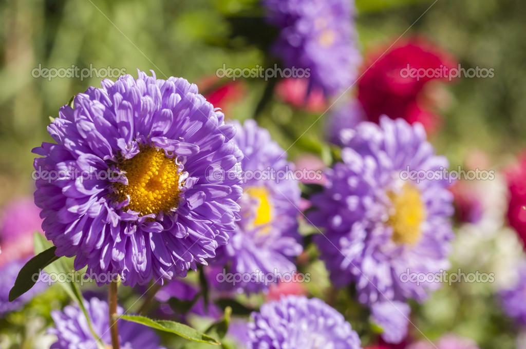 flores coloridas jardim:Flores coloridas no jardim — Fotografias de Stock © alessandrozocc