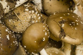 Amanita phalloides mushrooms — Stock Photo