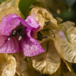 Bougainvillea spectabilis flower — Stock Photo