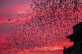 Starling fågel flock — Stockfoto