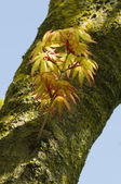 Maple tree new leaves and flower buds — Stock fotografie