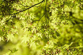 Maple tree new leaves and flower buds — ストック写真