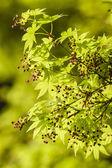 メープル ツリーの新しい葉およびつぼみ — ストック写真