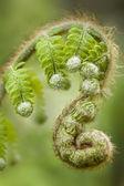 Green fern leaf buds — Stockfoto