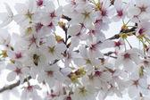 Цветы сакуры — Стоковое фото
