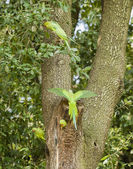 Rose ringed parakeets on tree nest — Stock Photo
