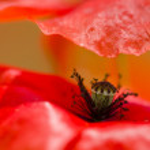 ������, ������: Red poppy detail