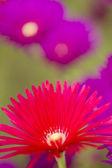 Rosa och gula blommor av saftiga växt — Stockfoto