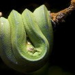 Tropical Green snake resting on a branch — Stock Photo #8509503