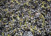 Wine grapes. — Stock Photo