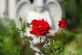 Rose und engel — Stockfoto