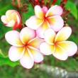 Frangipani, Pumeria, Frangipanni — Stock Photo