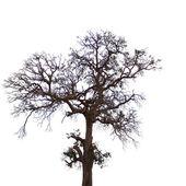 árbol muerto y seco es aislado sobre fondo blanco — Foto de Stock