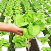 Hydroponic vegetable on hand in garden — Stock Photo