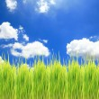 Green rice field and Sky for background  — Stock Photo