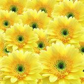 Krásné žluté okvětní — Stock fotografie