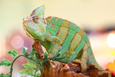 Chameleon posing — Stock Photo