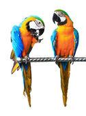 Beautiful Pet Parrot — Stock Photo