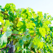 Stock Photo: Grapes in vineyard