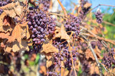 Dry grapes in vineyard — Stock Photo