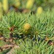 Branch of a pine with cones — Stock Photo