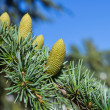 Stock Photo: Branch of a pine with cones
