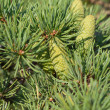 Branch of a pine with cones — Stock Photo #12764045