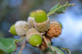 Closeup of acorn in the wood — Stock Photo