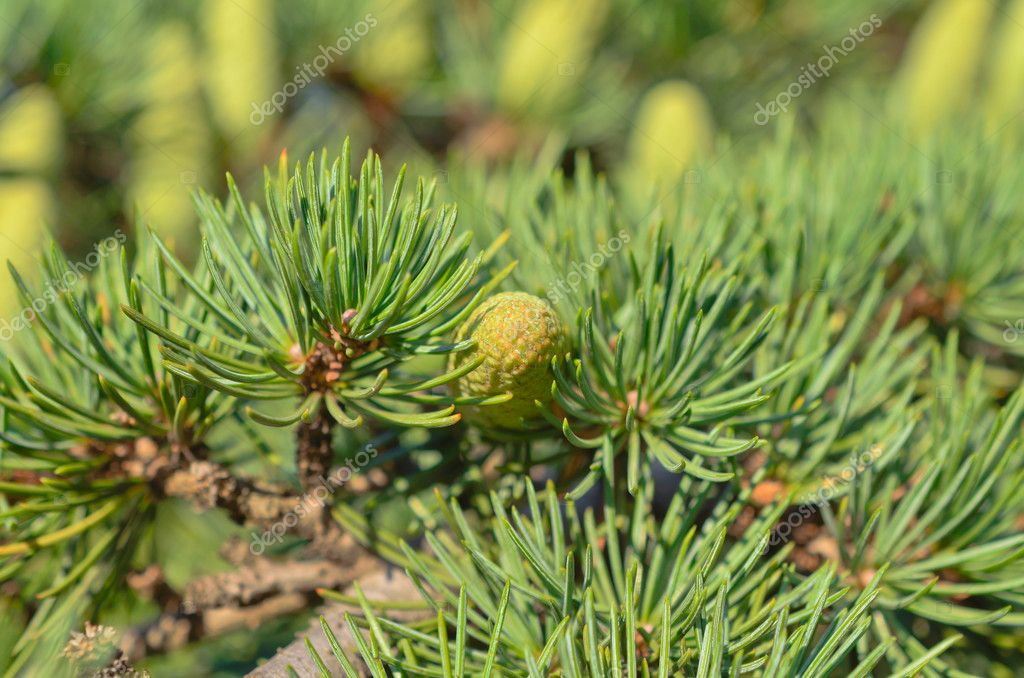 Branch of a pine with  small cones — Stock Photo #12763972