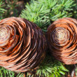 Cones on the branch of pine — Stock Photo