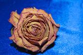 Dry rose on blue background — Stock Photo