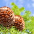 Stock Photo: Cones on the branch of pine