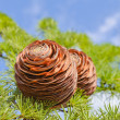 Cones on the branch over blue sky — Stock Photo