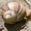 Close up of snail — Photo