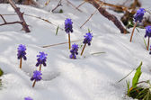 Flowers in snow — 图库照片