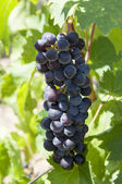 Cachos de uvas — Fotografia Stock