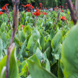 Canna flowers - Stock Photo