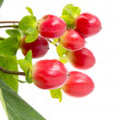 Cowberry — Stock Photo #22088965
