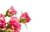 Lindas flores rosas — Fotografia Stock
