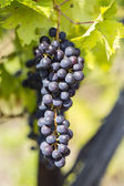 Bunches of ripe grapes — Stock Photo