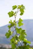 Vine leaves — Foto Stock