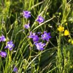 Greater celandine flowers — Stock Photo #46451331