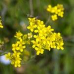 Greater celandine flowers — Stock Photo