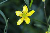 Greater celandine flowers — Stock fotografie