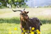 Longhorned goat — Stockfoto