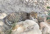 Cheetah yalan — Stok fotoğraf