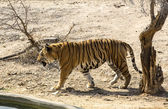 Tiger in the wild in Africa — Foto Stock