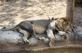 Lion dormant sur un tronc d'arbre — Photo